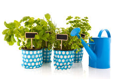 Kitchen herbs with watering can Royalty Free Stock Photo
