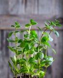 Kitchen Mint bush on wood background Royalty Free Stock Photos