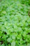 Kitchen Mint, Marsh Mint in vegetable garden Stock Photography