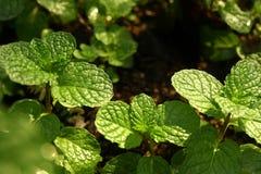 Kitchen Mint, Marsh Mint in vegetable garden Royalty Free Stock Photos
