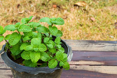 Kitchen Mint ( Mental cordifolia Opiz.) bush in pot Stock Photo