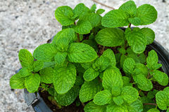 Kitchen Mint ( Mental cordifolia Opiz.) bush in pot Royalty Free Stock Photo