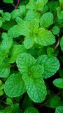 Kitchen mint plant Royalty Free Stock Images