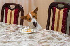 Kitchen pilferer having unscheduled lunch. Bad mannered basenji steals food Royalty Free Stock Photo
