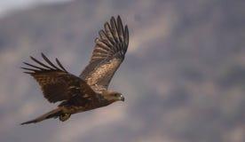 Kite bird in flight royalty free stock photo