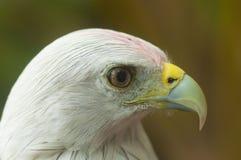 Kite Bird Royalty Free Stock Photography