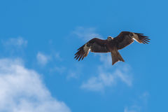 Kite bird sky Royalty Free Stock Photo