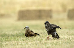 Kite and buzzard Stock Images