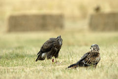Kite and buzzard in the corn field Stock Photography