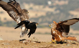 Kite and buzzard Stock Image