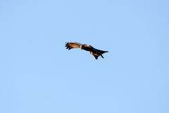 Kite - Chobe N.P. Botswana, Africa Royalty Free Stock Photography