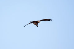 Kite - Chobe N.P. Botswana, Africa Stock Photo