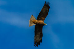 Kite Eagle Wings Spread Flying Stock Photo