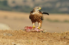 Kite eating carrion in the field Stock Images