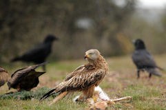 Kite among a group of crows Stock Photography