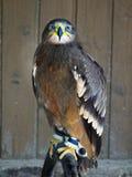 Kite Hawk Falcon Royalty Free Stock Photo