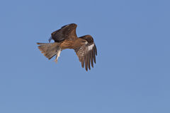 Kite Hunting For Food Royalty Free Stock Photography