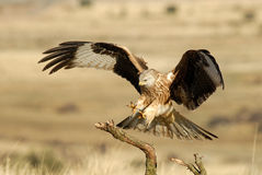 Kite landing Royalty Free Stock Photo