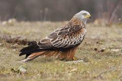 Kite ( Milvus Milvus ) f. Eeding on the ground Royalty Free Stock Photography