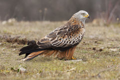 Kite ( Milvus Milvus ) feeding on the ground Stock Photos