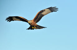 Kite with open wings in the sky Stock Image
