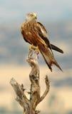 Kite posing in his watchtower Royalty Free Stock Photo