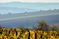A kite soaring over the vineyards. South Moravia.Czech republic. stock images