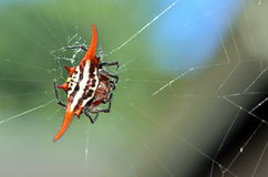 A kite spider Stock Photography