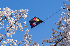 Kite stuck in branches of Cherry Blossom tree Royalty Free Stock Image