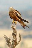Kite watches from his perch Royalty Free Stock Images