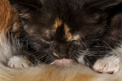 Calico kitten nursing Stock Image