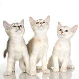 Kiten Shorthaired Abyssinian Stock Photos