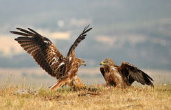 Kites fight for food in the countryside Royalty Free Stock Images