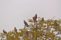 Kites on a tree. Group of pariah kites on a tree. Rajghat park in New Delhi Royalty Free Stock Images