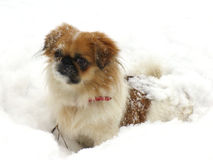 Kiti In The Snow. Japanese Chin breed of dog, playing in snow in Finland.  A dog named Kiti Stock Photos