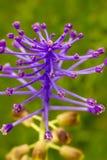 Kitka Gronowego hiacyntu kwiat (Muscari comosum) Zdjęcie Stock