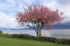Kitsiliano Cherry Blossoms Royalty Free Stock Photography