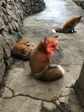Japanese red fox. Kitsune or Japanese red fox Stock Photography