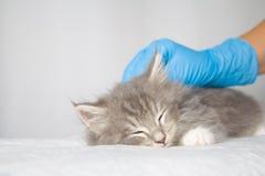 Kitte macio do racum de Grey Persian Little Maine na clínica do veterinário e mãos em luvas azuis O gato está dormindo - Medicina foto de stock royalty free