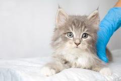 Kitte macio do racum de Grey Persian Little Maine na clínica do veterinário e mãos em luvas azuis O gato olha à câmera Espaço par foto de stock