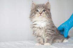 Kitte macio do racum de Grey Persian Little Maine na clínica do veterinário e mãos em luvas azuis O gato olha à câmera Espaço par fotografia de stock