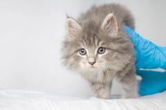 Kitte macio do racum de Grey Persian Little Maine na clínica do veterinário e mãos em luvas azuis O gato olha à câmera Espaço par imagem de stock