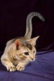 KitteKitten no estúdio Imagens de Stock Royalty Free