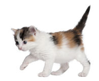 Kitten (1 month old) Royalty Free Stock Image