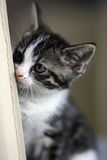 Kitten. Little kitten lokking around the corner of a chair Royalty Free Stock Images
