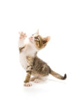 Kitten. Photo of a cute kitten isolated on white royalty free stock photography