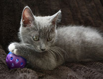 Kitten. Portrait shot of a Silver Gray Kitten Royalty Free Stock Photography