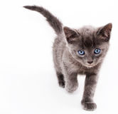 Kitten. Grey kitten with blue eyes.  Isolated against a white background Royalty Free Stock Images