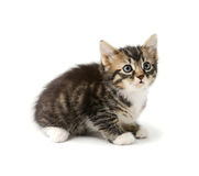 Kitten. European Kitten isolated on white background Stock Images