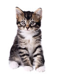 Kitten. European Kitten isolated on white background Royalty Free Stock Images